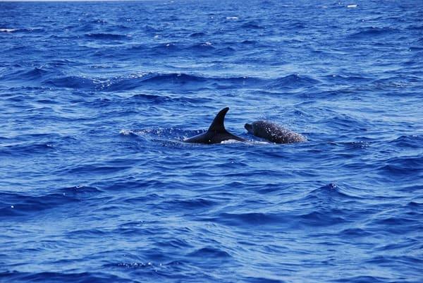 04_Delfin-Madeira-Atlantik