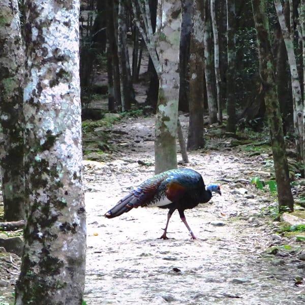 97_Maya-Ruine-Calakmul-Mexiko-Vogel