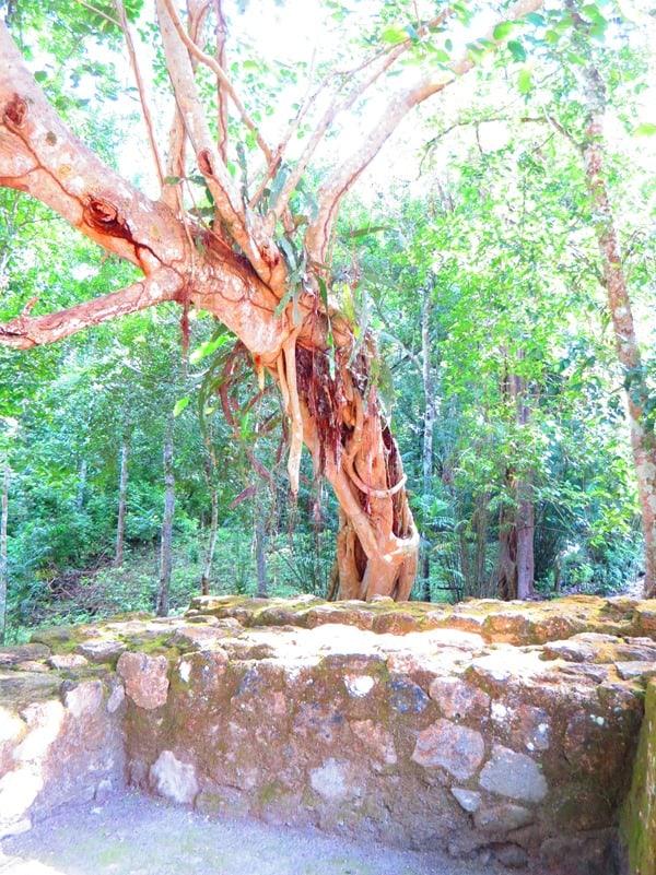 99_Maya-Ruine-Calakmul-Mexiko-Natur