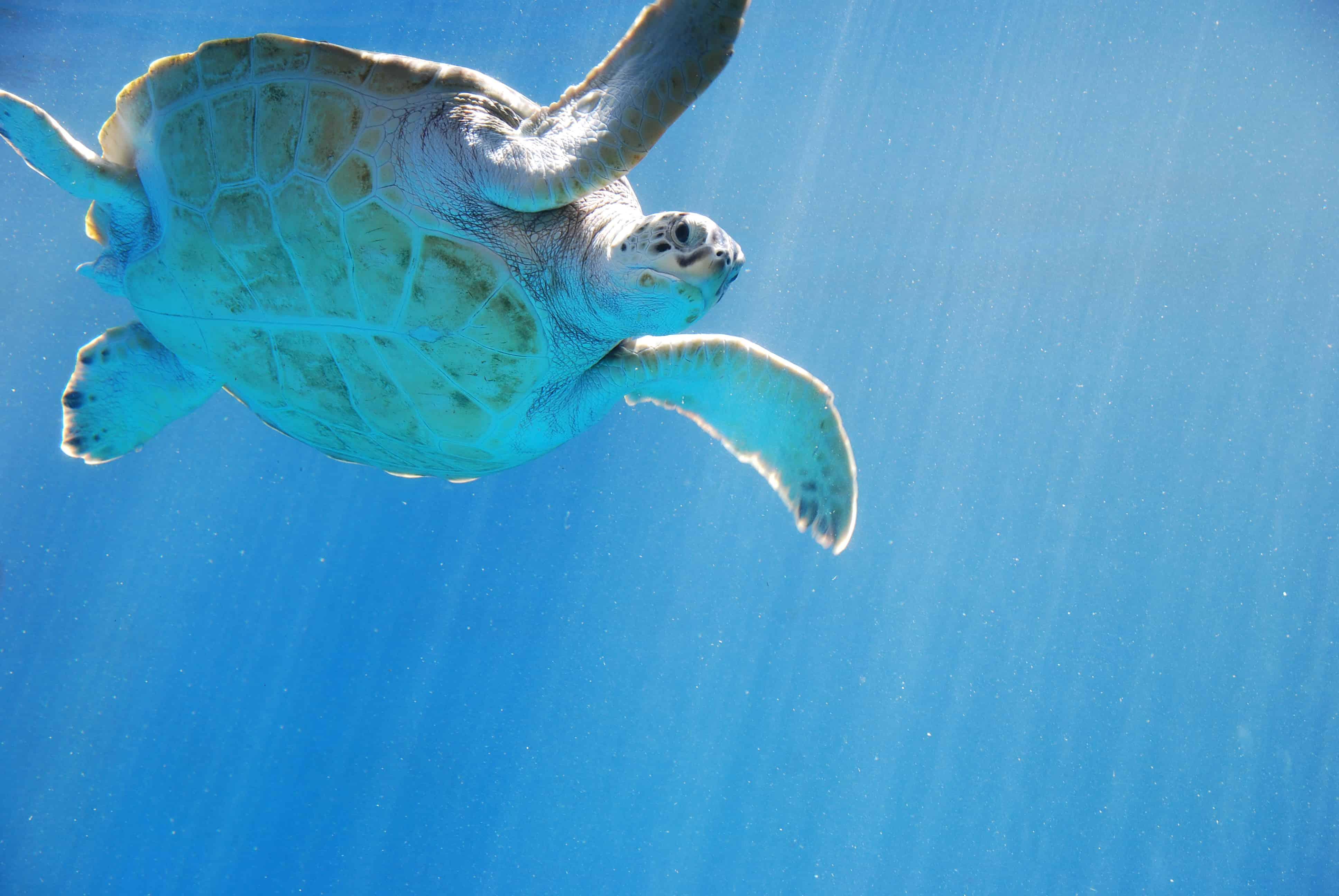 00_Meeresschildkroete-Curacao-Sea-Aquarium