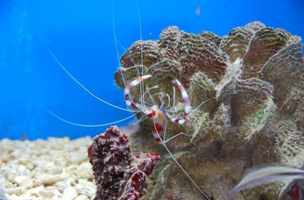 05_Garnele-Curacao-Sea-Aquarium