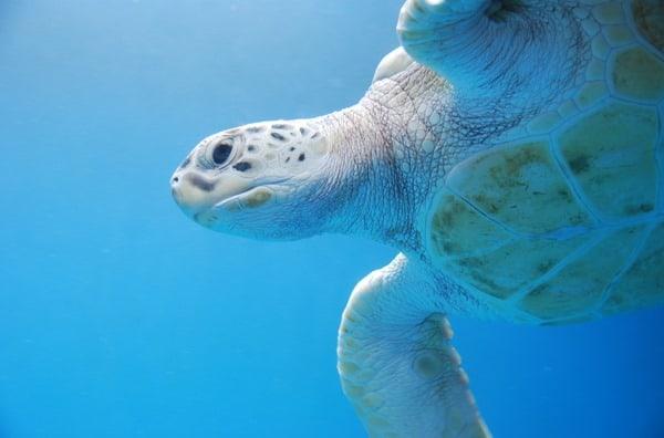 08_Meeresschildkroete-Curacao-Sea-Aquarium