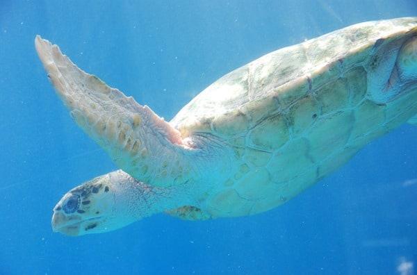 09_Meeresschildkroete-Curacao-Sea-Aquarium