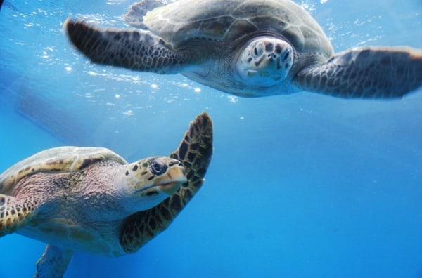 11_Meeresschildkroeten-Curacao-Sea-Aquarium