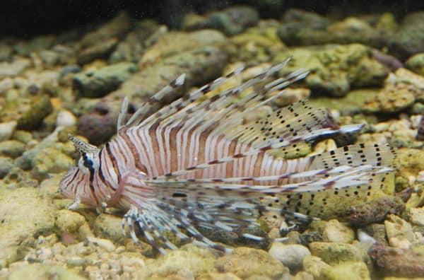 12_Feuerfisch-Curacao-Sea-Aquarium