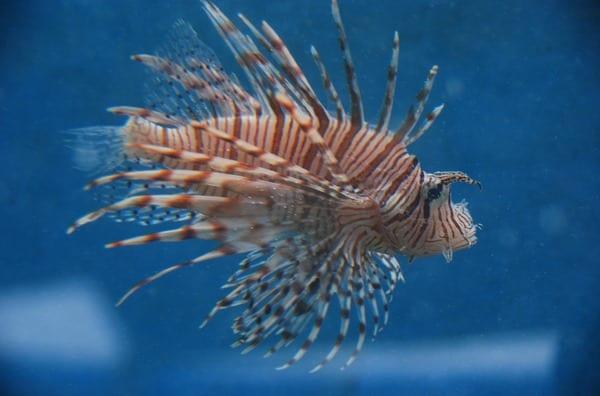 13_Feuerfisch-Curacao-Sea-Aquarium