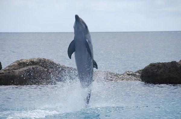 19_stehender-Delphin-Curacao-Sea-Aquarium