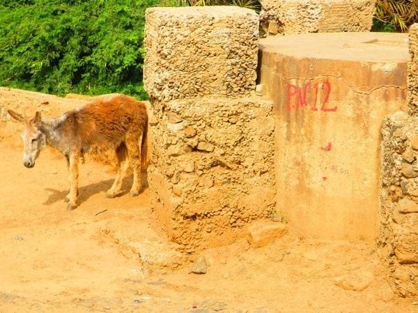 02_Wilde-Esel-Boa-Vista-Kapverden