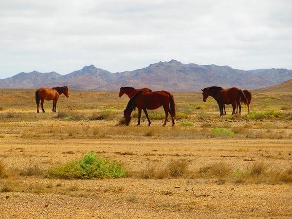 04_Wilde-Pferde-Boa-Vista-Kap-Verden