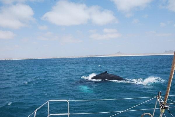 08_Buckelwal-Whale-watching-Boa-Vista-Kapverden
