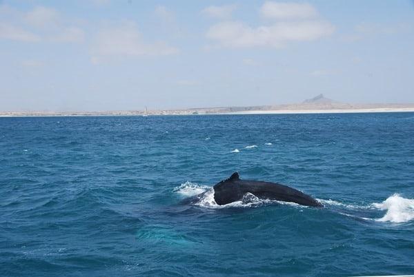 09_Buckelwal-Whale-watching-Boa-Vista-Kapverden
