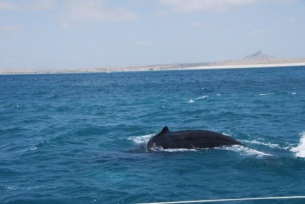 10_Buckelwal-Whale-watching-Boa-Vista-Kapverden