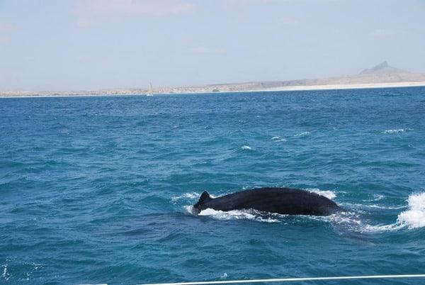 11_Buckelwal-Whale-watching-Boa-Vista-Kapverden