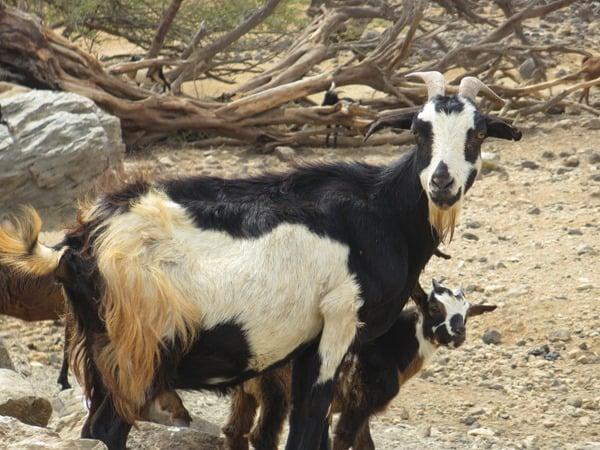 11_Ziegenfamilie-an-der-Oase-Oasis-de-Fonte-Vicente-Boa-Vista-Kapverden