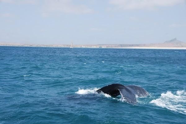 12_Buckelwal-Whale-watching-Boa-Vista-Kapverden