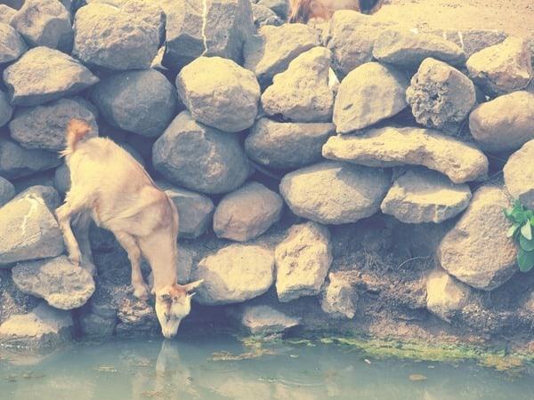 12_Kletterziege-an-der-Oase-Oasis-de-Fonte-Vicente-Boa-Vista-Kapverden