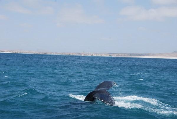 13_Buckelwal-Whale-watching-Boa-Vista-Kapverden