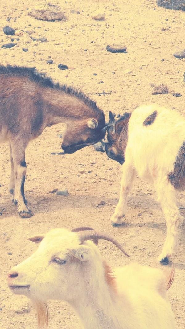 13_spielende-Ziegen-an-der-Oase-Oasis-de-Fonte-Vicente-Boa-Vista-Kapverden