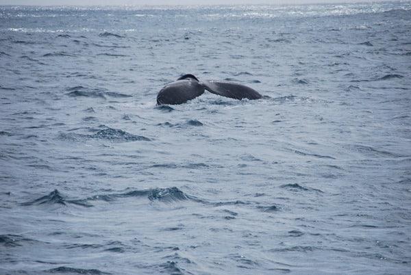14_Buckelwal-Fluke-Whale-watching-Boa-Vista-Kapverden