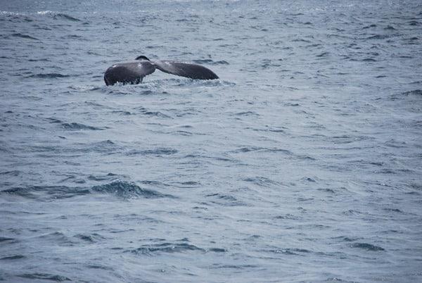 15_Buckelwal-Fluke-Whale-watching-Boa-Vista-Kapverden