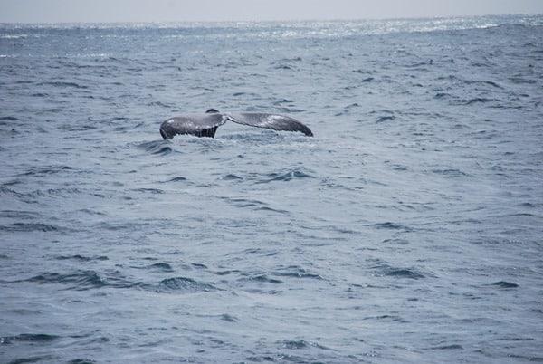 16_Buckelwal-Fluke-Whale-watching-Boa-Vista-Kapverden