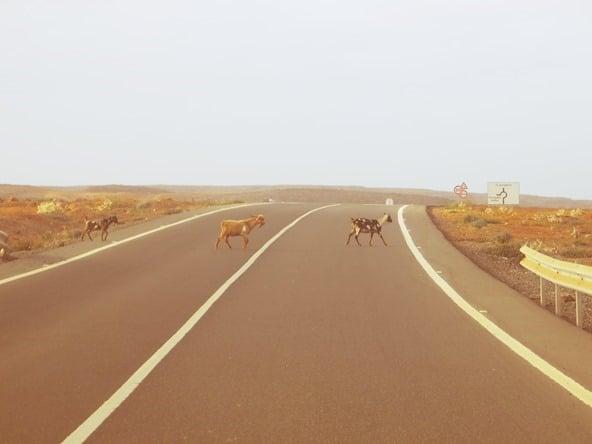 27_Ziegen-auf-der-Strasse-Boa-Vista-Kapverden