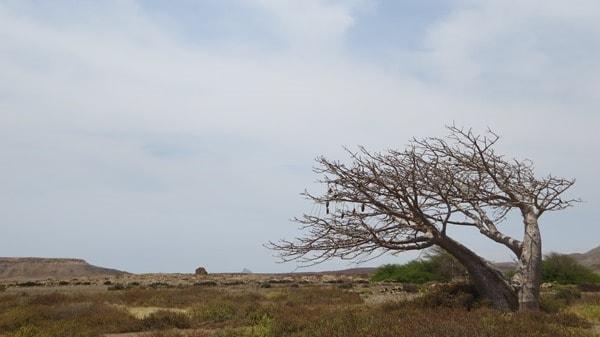29_Baobab-Baum-Boa-Vista-Kapverdische-Inseln