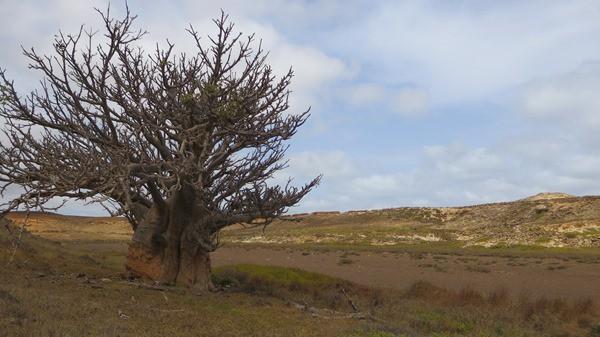 34_Grosser-Baobab-Baum-Boa-Vista-Kapverden