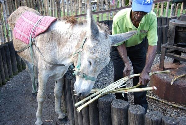 06_Rum-Esel-Jamaika