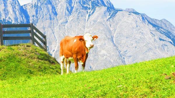 92_Fleckvieh-Kuh-Alm-Seefelder-Joch-Tirol-Oesterreich