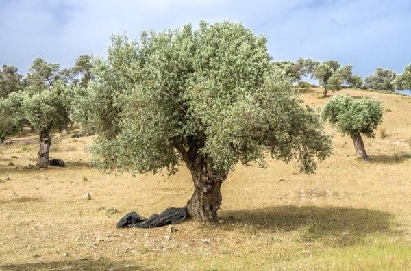 kreta-sueden-oliven-griechenland-greece-crete