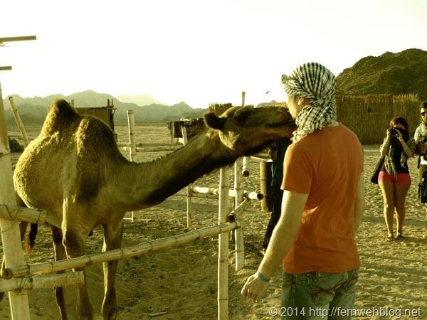 19_Kuss-vom-Kamel-bei-Beduinen-Wueste-Hurghada-Aegypten