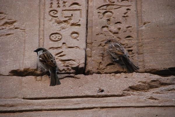 21_Spatzen-am-Relief-des-Horus-Tempel-Edfu-Aegypten-Nil-Nilkreuzfahrt