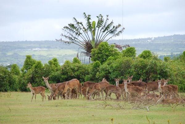 16_Rudel-Javahirschen-Mauritius-Nature-Trails-Ausflug