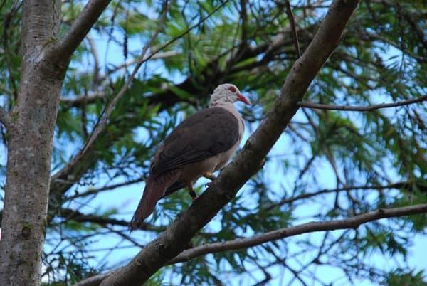 25_Pink-Pigeon-Rosa-Taube-Mauritius