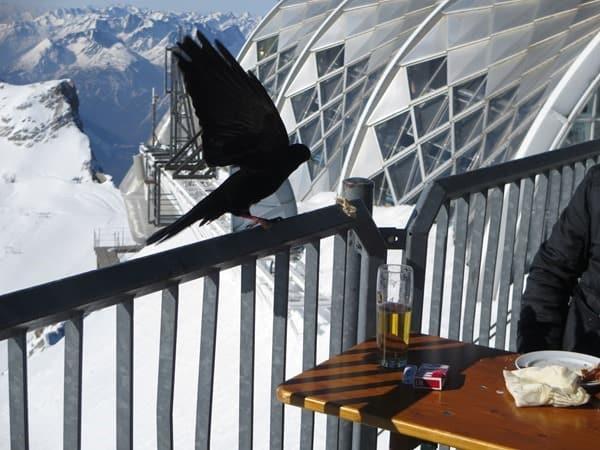 11_hungrige-Alpendohle-Zugspitze