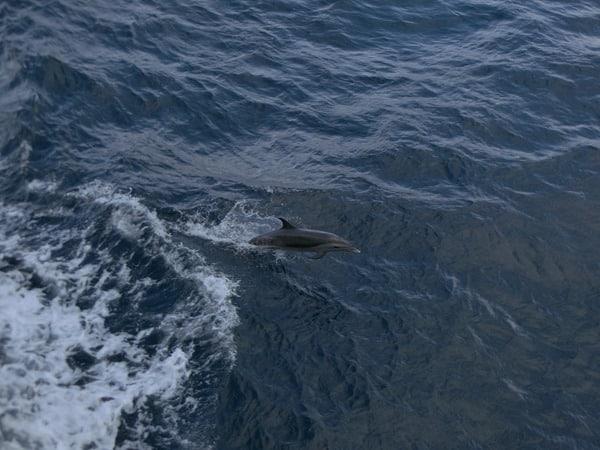 20_Delfin-neben-der-Royal-Clipper-Karibik