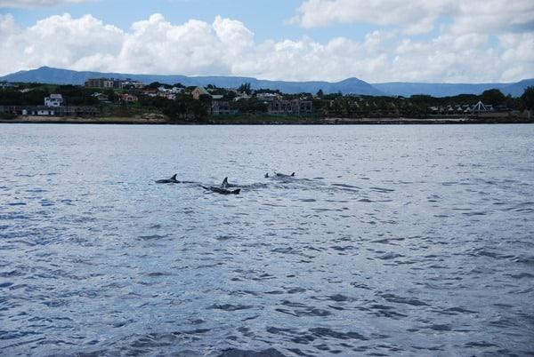05_Delfinschule-Delfin-Tour-Mauritius