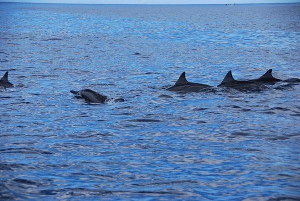 07_Delfine-Delfin-Tour-Mauritius