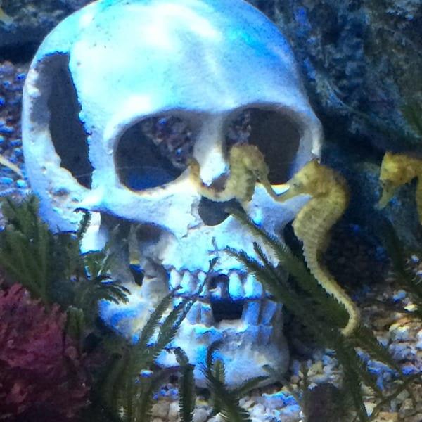 Seepferdchen Totenkopf Piratensommer SeaLife Muenchen