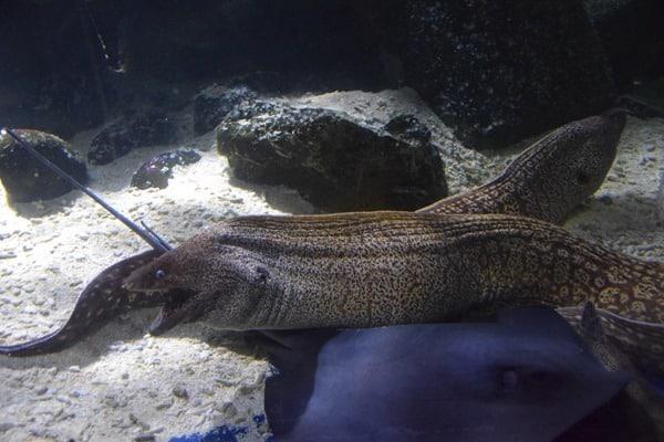 19_Muraenen-Rochen-SeaLife-Muenchen