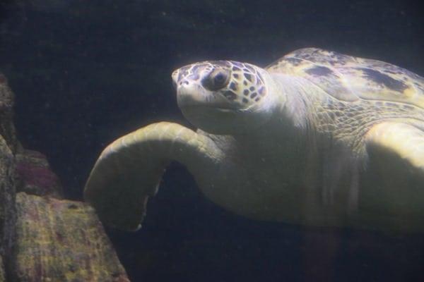 Gruene Meeresschildkroete Gonzales SeaLife Muenchen