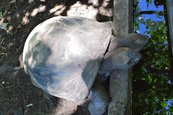 14_Riesenschildkroete-Chez-Batista-Mahe-Seychellen