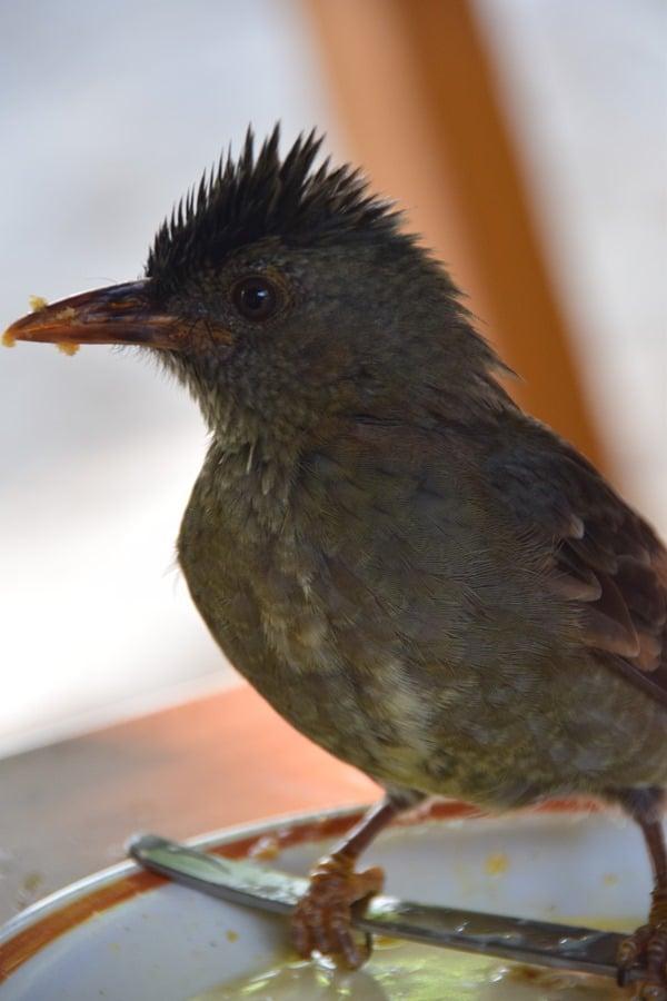39_Vogel-Seychelles-Bulbul-Praslin-Seychellen