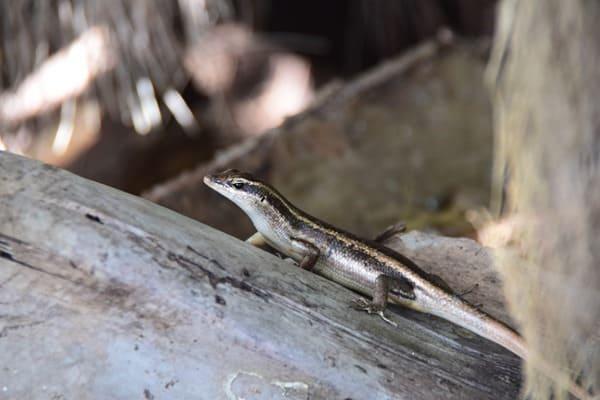 14_Gecko-im-Naturschutzgebiet-Marine-National-Park-Curieuse-Seychellen