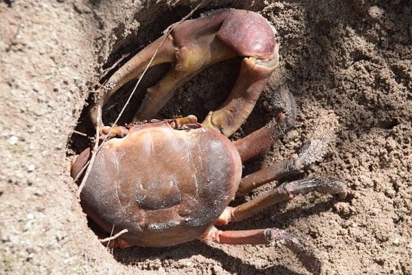 16_Krabben-im-Naturschutzgebiet-Marine-National-Park-Curieuse-Seychellen