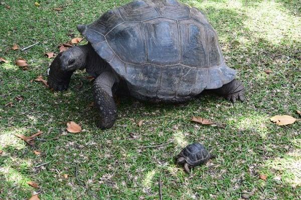 31_Baby-und-Riesenschildkroete-Vergleich-Naturschutzgebiet-Marine-National-Park-Curieuse-Seychellen