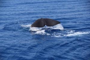 00_pottwal-schwanzflosse-fluke-pelagos-sanctuary-whalewatching-ligurien-italien-mittelmeer
