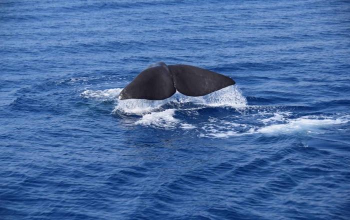 Pottwal Schwanzflosse Fluke Pelagos Sanctuary Whale watching Ligurien Italien Mittelmeer