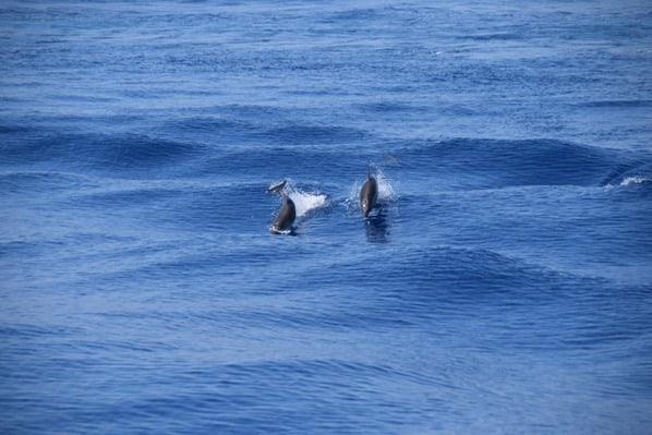 05_Whalewatch-Imperia-Delfine-im-Pelagos-Sanctuary-Mittelmeer-Ligurien-Italien